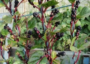 Red-Malabar-Spinach-Seeds-on-the-Vine